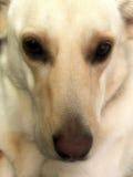 拉布拉多,德国人Shepard十字架狗 免版税库存照片