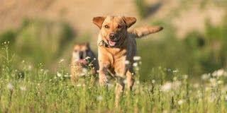 拉布拉多Redriver狗和牛头犬 狗跑在一个开花的美丽的五颜六色的草甸 免版税库存图片