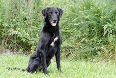 黑拉布拉多Retiever被混合的品种狗 库存图片