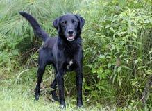 黑拉布拉多Retiever被混合的品种狗 免版税库存图片