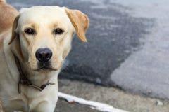 拉布拉多Retriver街狗 免版税库存照片