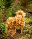 拉帕尔玛岛海岛的流浪狗  免版税库存照片