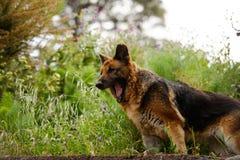 拉帕尔玛岛海岛的流浪狗  免版税库存图片