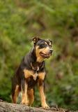 拉帕尔玛岛海岛的流浪狗  免版税图库摄影