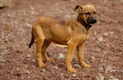 拉帕尔玛岛海岛的流浪狗  库存图片