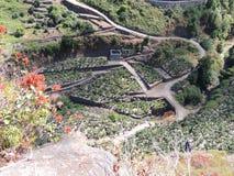 拉帕尔玛岛的,加那利群岛,西班牙香蕉种植园 库存图片