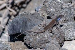 拉帕尔玛岛蜥蜴gallotia基于火山的熔岩岩石的galloti棕榈科在阳光下 免版税图库摄影