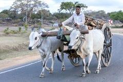 拉扯一个木推车的黄牛队用沿一条被密封的路的木柴移动装载了在巴拿马附近在斯里兰卡 免版税库存照片