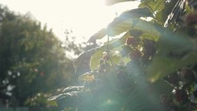 拉扯从绿色灌木的一只女性手的特写镜头莓 收获莓 股票视频