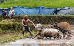 拉扯他的公牛的印度尼西亚骑师在传统Pacu Jawi种族中间 图库摄影