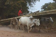 拉扯在多灰尘的路,缅甸的两头黄牛木推车 库存照片