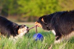 拉扯在绳索的两只澳大利亚牧羊犬 免版税库存图片