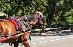 拉扯支架的马在中央公园 库存图片