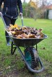 拉扯有叶子的花匠妇女独轮车在庭院里 库存图片