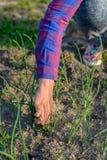 拉扯杂草的妇女在她的菜园里 免版税库存图片