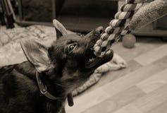 拉扯猛拉玩具的小狗 免版税库存图片