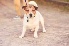 拉扯皮带的狗穿上` t要从步行回家 免版税库存照片
