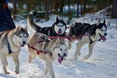 拉扯雪撬的阿拉斯加的爱斯基摩狗和西伯利亚爱斯基摩人 免版税库存图片