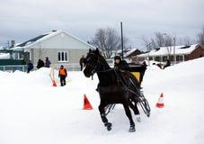 拉扯雪橇的加拿大马 免版税库存照片