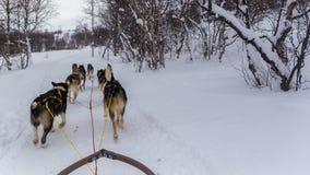 拉扯雪橇的拉雪橇狗在挪威 免版税库存照片