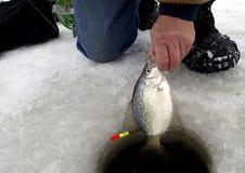 拉扯从冰的渔夫一条莓鲈翻车鱼 库存照片