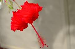 拉罗通加,库克群岛,木槿花 免版税库存图片