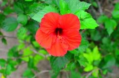 拉罗通加,库克群岛,木槿花 免版税图库摄影