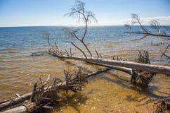 拉脱维亚,海角Kolka,里加湾 树谎言在的水中 免版税库存照片