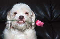 拉萨拿着在他的嘴的apso狗一朵花,显示他的牙在一个浪漫场面有黑背景 库存照片