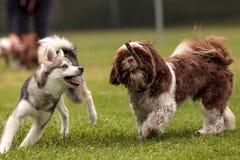 拉萨Apso和一条西伯利亚爱斯基摩人狗混合戏剧 库存图片