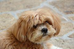 拉萨Apso狗在庭院里 免版税库存图片