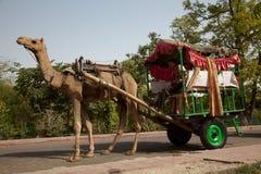 拉购物车的骆驼在印度 免版税库存照片