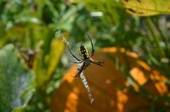 拉链蜘蛛特写镜头在网的在南瓜补丁 库存图片
