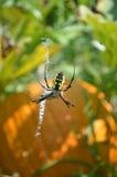 拉链蜘蛛特写镜头在网的在南瓜补丁 免版税库存图片