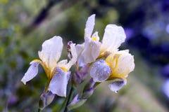 拉长的花现有量例证虹膜 库存照片