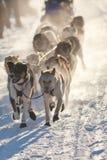 拉雪橇小组的狗 图库摄影