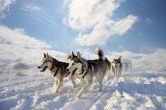 拉雪橇狗品种西伯利亚爱斯基摩人 库存图片
