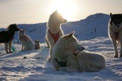 拉雪橇狗在格陵兰 图库摄影