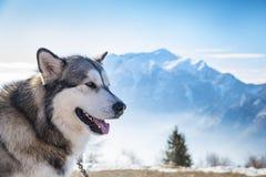 拉雪橇狗场面 图库摄影