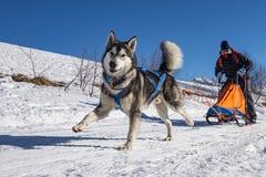 拉雪橇狗场面 免版税图库摄影