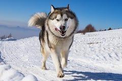 拉雪橇狗场面 库存图片