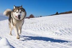 拉雪橇狗场面 库存照片
