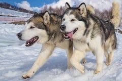 拉雪橇狗场面 免版税库存图片