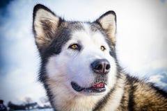 拉雪橇狗场面 免版税库存照片