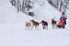 拉雪橇狗赛跑、司机和狗在竞争时在冬天路 免版税库存图片