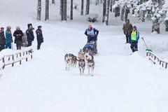 拉雪橇狗赛跑、司机和狗在skijoring的竞争时 库存照片
