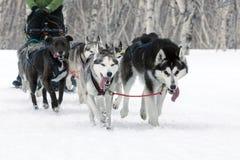 拉雪橇狗赛跑在堪察加:猎狗雪撬队阿拉斯加的爱斯基摩 免版税库存图片