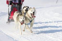 拉雪橇狗赛跑在Lenk/瑞士2012年 库存图片