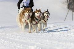 拉雪橇狗赛跑在Lenk/瑞士2012年 免版税库存图片