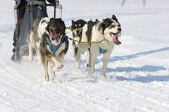 拉雪橇狗赛跑在Lenk/瑞士2012年 库存照片